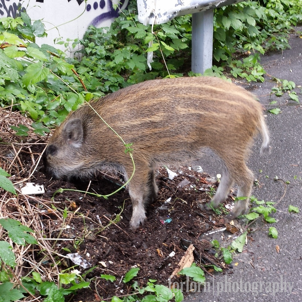 I was so pleased that Schweinie showed up, even if he was more interested in rooting for food than in saying hi.